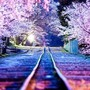 Cherry Blossoms Line