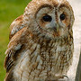 Tawny Owl/