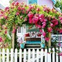 Pink climbing roses-   Oak Bluffs,  Martha's Vineyard