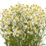 fresh flower camomile