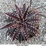 DYCKIA RED RIPPER