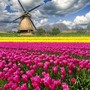 tulip fields and windmill