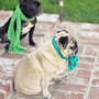 so cute!!>pug and french bulldog  in  scarves