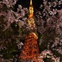 Cherry tree in full bloom/Tokyo Tower
