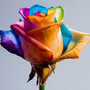 Happy Roses/Rainbow rose